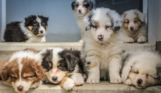 【着飾る恋には理由があって】こうじの犬種はボーダーコリー?癒し画像まとめ!